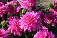 Claudette Decorative Dahlia - Vivid Pink -  #1 Top Size Root