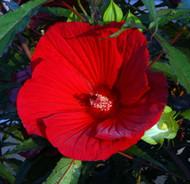 """Fireball Giant Hibiscus Rose Mallow Perennial - Huge Flowers - 4"""" Pot"""