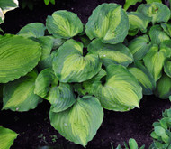 Beyond Glory Hosta - Gallon Pot