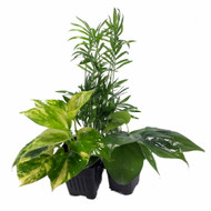 """Low Light House Plant Collection - Parlor Palm/Philodendron/Devil's Ivy -3"""" Pots"""