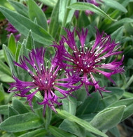 Amethyst Dream Mountain Bluet - Centaurea montana - Quart Pot