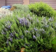 "Organic Rosemary Plant - 4"" Biodegradable Pot"