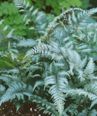 Applecourt Fern - Burgundy, Gray, Green Hues - Quart Pot