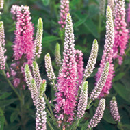 Magic Show® Pink Potion Veronica  - Speedwell - Gallon Pot - Proven Winners