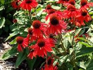 "Sombrero® Sangrita Coneflower Perennial - Echinacea - 4"" Pot"