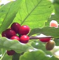 Cup of Coffee....Coffee Plant - Beige Ceramic Coffee Mug/Spoon/Live Coffee Tree