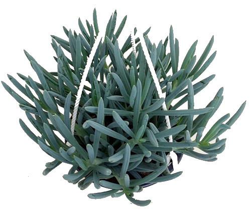 Blue Chalksticks Plant - Senecio Kleinia repens - Easy to Grow - 4.5