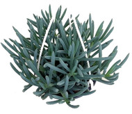 "Blue Chalksticks Plant - Senecio Kleinia repens - Easy to Grow - 4.5"" Pot"