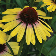 "Butterfly™ Yellow Rainbow Marcella Coneflower - Echinacea - Fragrant - 3"" Pot"