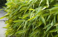 "Dwarf Greenstripe Bamboo -Pleioblastus viridistriatus- Grow Indoors/Out- 4"" Pot"