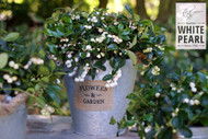 "Peppermint Pearl Wintergreen Plant  - Gaultheria -Teaberry -Aromatic - 2.5"" Pot"