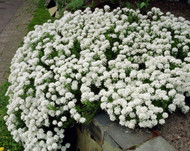 Snowflake Candytuft Perennial - Iberis - Gallon Pot