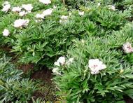 Garden Treasure Peony - Intersectional ITOH Peony - 2 Year Bareroot