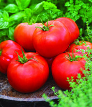 "Big Boy Tomato Plant - Heavy yields - 3.5"" Pot"