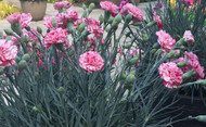Pinball Wizard Dianthus -Pink with Dark Pink Streaks - Quart Pot