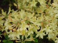 "Weston's LEMON DROP Azalea - 2.5"" pot - Yellow Flowers"