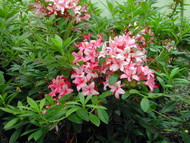 "Deciduous Exbury Azalea Pink and Sweet - Purplish Pink/Golden Flare 2.5"" Pot"