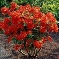 "Deciduous Exbury Azalea Gibralter - Very Hardy - 2.5"" Pot"