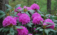 """English Roseum Rhododendron - Classic Pink - 2.5"""" Pot"""