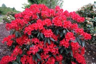 "Vulcan's Flame Rhododendron - Fire Red Blooms - 2.5"" Pot"