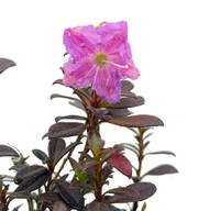 """Kalmiopsis leachiana - 4"""" Pot - One of the World's Rarest Plants - Indoors/Out"""