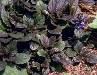 """Bronze Beauty Ajuga 48 Plants - Carpet Bugle - Very Hardy -1 3/4"""" Pots"""