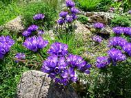"Grassy Bells - Edraianthus tenuifolius - Very Hardy Perennial - 4"" Pot"