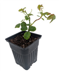 "Brindabella Red Empress Shrub Rose - One of the World's Most Fragrant - 4"" pot"
