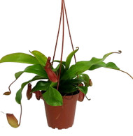 "Asian Pitcher Plant - Nepenthes - Carnivorous - Exotic - 4"" Pot"