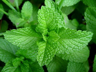 """Organic Heirloom Peppermint Plant - No GMOs Indoors/Out - Live Plant - 4.33"""" Pot"""