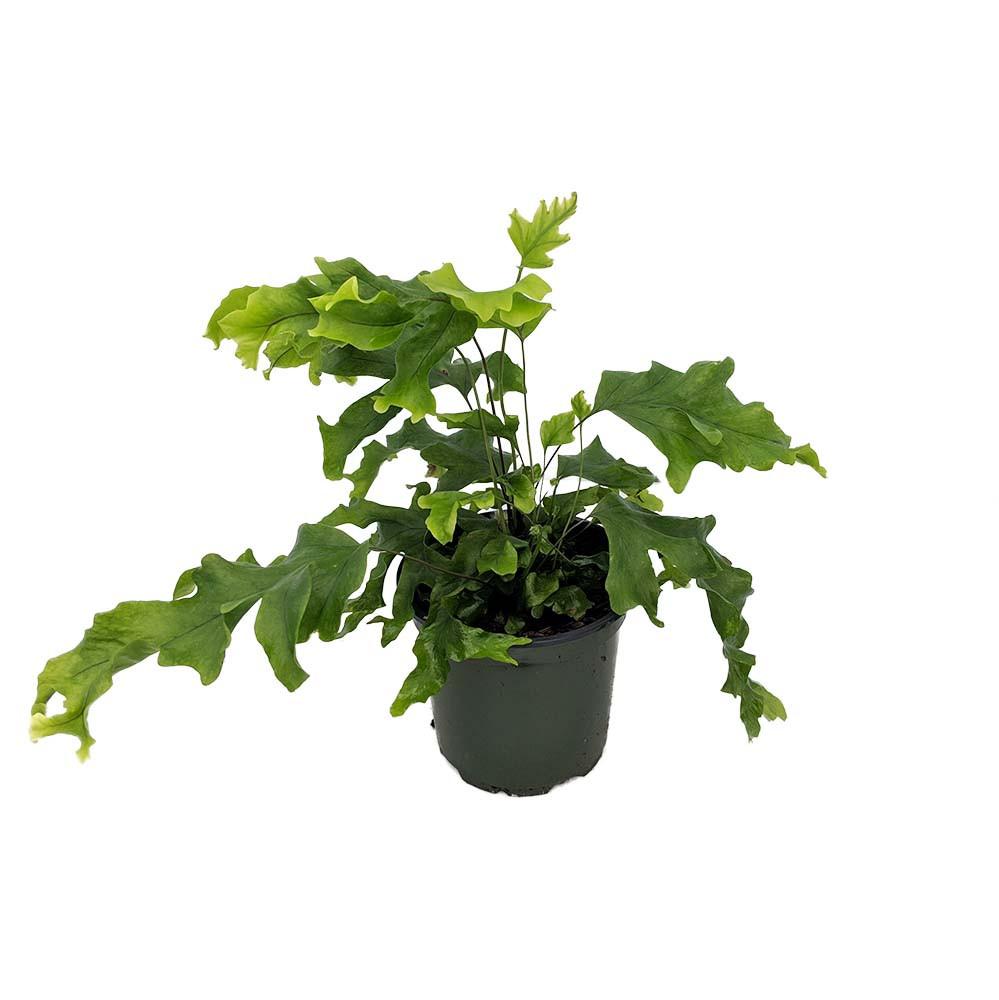 "Picture of Live Nicolas Diamond Fern aka Phlebodium x Pyrrosia Plant Fit 4"" Pot"