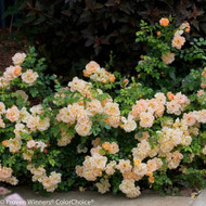 "OSO EASY®  Peachy Cream Rose - DISEASE RESISTANT - Proven Winners - 4"" Pot"