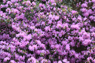 """P.J.M. Checkmate Compact Rhododendron - Very Hardy - Spectacular - 2.5"""" Pot"""