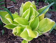 St. Elmo's Fire Hosta - Live Plant - Quart Pot