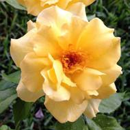 "Sun Flare Rose Bush - Lemon Yellow Blooms - 4"" Pot"