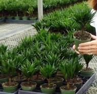 "Needlepoint Dragon Tree- Dracaena fragrans - 4"" Pot - Easy to Grow House Plant"