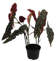 "Rare Polka Dot Bat Wing Begonia Plant - 6"" Pot - Great Blooming Houseplant"