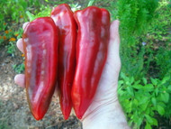 "Giant Marconi Pepper Plant - Italian - Sweet Red - 3.5"" Pot"