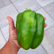 "Big Bertha Sweet Pepper Plant - HUGE FRUIT - 3.5"" Pot"