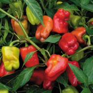 "Cajun Belle Pepper - Mild Sweet Heat - 3.5"" Pot"