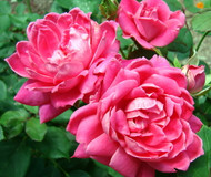 """Double Pink Knock Out® Rose - Hot Pink - Disease Resistant - 4"""" pot"""