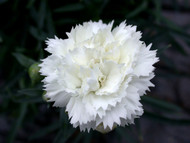 Dianthus Early Bird Frosty - Snowy White - Quart Pot