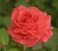 """Climbing America Rose - Clover Scented - Coral Pink  - 4"""" Pot"""