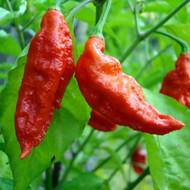 "Organic Bhut Jolokia Ghost Pepper Plant - World's Hottest Chile Pepper -4.5"" Pot"