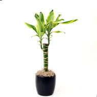 "Del Sol Dragon Tree - Dracaena - 4"" Pot - Easy to Grow House Plant"