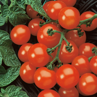 "Husky Cherry Red Tomato - Bursting With Flavor - 3.5"" Pot"