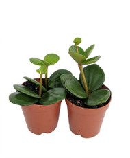 "Hope Peperomia - Easy to Grow Houseplant - 2"" Pots/2 Pack"
