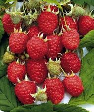 "Heritage Red Raspberry Plant - 2.5"" Pot"