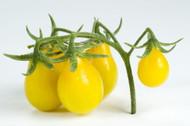 "Yellow Pear Tomato Plant - 3.5"" Pot - Naturally Grown - No GMO's"