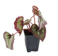 "Fire Woman Begonia Plant - 4"" Pot - Great Blooming Houseplant"